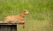 goat-1451105_1280.jpg